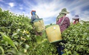 Tea farm plantation