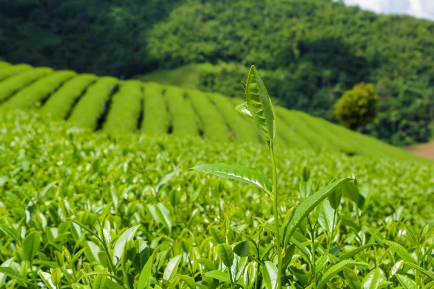 field-of-matcha-tea-leaves