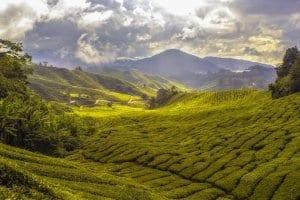 Matcha Green Tea Fields
