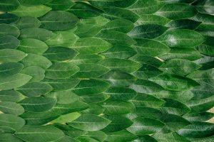 matcha-tea-leaves-fasting